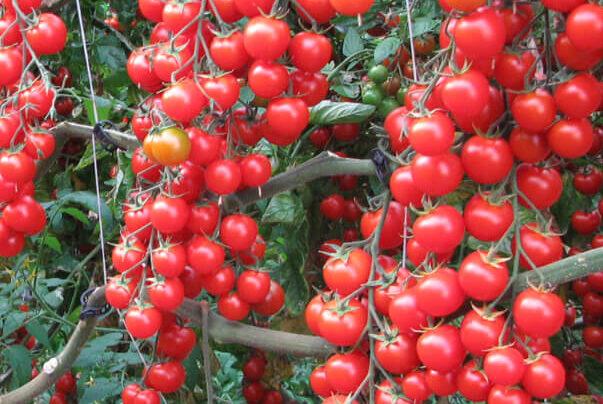 Risultato immagini per pomodori ciliegino